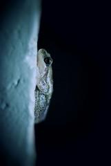 A Frog in Spotlight. (joelleheaven) Tags: nature amphibian frog australianwildlife aquaticlife