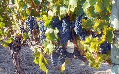 Cabernet Sauvignon Grapes (RobW_) Tags: africa morning march estate wine walk south sunday jordan grapes western cape stellenbosch cabernet sauvignon 2016 06mar2016