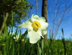 Narciso selvatico  - poet's Daffodil (ermenegildore) Tags: flowers macro daffodil fiori narciso