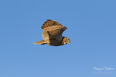 Great Horned Owl flyby sequence - 5 of 10