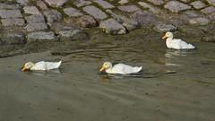 Jungenten (Tobi NDH) Tags: nature animal duck natur duckling pato ente canard eend tier landleben anatra wasservogel kachna jungente ringleben solgraben