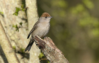 Blackcap ♀ Female