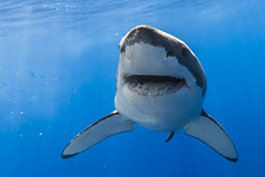 Happy Earth Day! (George Probst) Tags: ocean blue water smile mexico happy shark underwater outdoor environment baja greatwhiteshark earthday squalo wildlfe tiburonblanco grandrequinblanc weiserhai