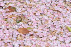 20160410-DSC_8485.jpg (d3_plus) Tags: sky plant flower history nature japan trekking walking temple nikon scenery shrine bokeh hiking kamakura fine daily telephoto bloom  tele nikkor    kanagawa   shintoshrine   buddhisttemple dailyphoto sanctuary   70210 thesedays kitakamakura    fineday  70210mm   holyplace historicmonuments 70210mmf4  zoomlense ancientcity         70210mmf4af 702104 d700 nikond700  aiafnikkor70210mmf4s 70210mmf4s