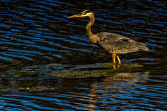 golden heron (wimvandemeerendonk) Tags: blue light wild sun canada color colour reflection green bird heron nature water colors birds contrast river outdoors golden fishing colours minolta bright outdoor wildlife sony vancouverisland wetlands serene ripples porthardy goldenhour monumental telelens 5074faves minoltaapo200 wimvandem