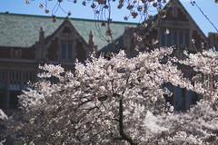 IMG_9370 (elenafrancesz) Tags: uw cherry blossoms wordless