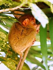 P1030152 (NL60D) Tags: monkey travels asia philippines bohol tarsier chocolatehills worldtraveller