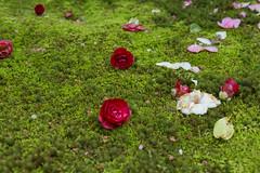 2016 Spring Season Tour Of Kyoto (caz76KOBE) Tags: japan zeiss canon landscape temple eos spring kyoto   cherryblossoms ze macrolens   carlzeiss 2016 kyotocity macroplanar  eos6d reikanji mp50 carlzeissmakroplanart250ze 2016spring 2016kyoto 2016caz76