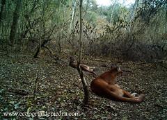 Puma (portaldepiedra) Tags: mountain nature argentina animals cat lion felines resting puma