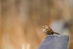 Lonely Sparrow (Miguel de la Bastide) Tags: wild ontario canada bird nature nikon song wildlife sparrow whitby tamron songsparrow lyndeshoresconservationarea d5300 150600mm