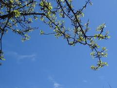 Spring Blossoms on Cabot Street (Elizabeth Thomsen) Tags: trees usa geotagged spring unitedstates massachusetts blossoms april beverly springtime 2016 cabotstreet elizabeththomsen ethomsen geo:lat=4255057882 geo:lon=7087811887