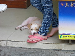 Dog in storefront, China (Animal People Forum) Tags: china dog pets feet dogs animals person asia canine storefront mammals companionanimals