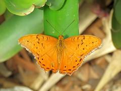 Vindula arsinoe 5 (barryaceae) Tags: house butterfly harbour australia nsw coffs the ausbutterfly