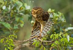 Lechuza de las madrigueras, Lechucita vizcachera, Burrowing owl (Athene cunicularia).2 (alvarof.polo) Tags: bird nikon pantanal athenecunicularia burrowingowl strigidae lechucitavizcachera lechuzadelasmadrigueras