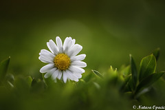 No Winter Lasts Forever, No Spring Skips Its Turn (_Natasa_) Tags: white flower macro green art nature grass sunshine closeup canon spring dof bokeh daisy canoneos7d canonef100mmf28lmacroisusm natasaopacic natasaopacicphotography