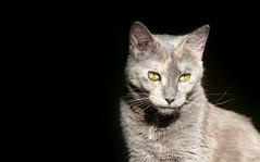 Broadcast (kirstiecat) Tags: broadcast cat feline moody kitty tortoiseshell negativespace tortitude dilutetort dilutetortie naughtytortie naughtytorty thenoisemadebypeople