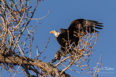 Bald Eagle brings rabbit to its nest - sequence - 10 of 13