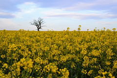 this is my tree... (C-Smooth) Tags: flowers sky tree nature field yellow landscape spring lonely rapeseed secretplace colza