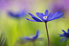 Springtime (Stefan Zwi. ...catching up :-)) Tags: park blue wild plants plant flower color macro cute green texture nature floral beauty field grass closeup garden outdoors photography flora colorful soft colours bokeh gardening outdoor head background sony magic small hell pflanze 7 sigma sharp petal growth anemone single micro bunch bloom backgrounds grn blau delicate botany blume farbe garten depth muster f28 a7 freshness blooming balkan schrfentiefe 105mm windflower windrschen bltenblatt textur ilce blanda offenblende emount organisches