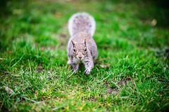like a boss !! (dtapkir) Tags: uk portrait england green london eye nature face grass animal animals yellow out climb leaf nikon squirrel focus bokeh walk run d750 100 mm 850 1640 18