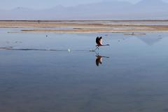 Flamingo sozinho decolando (Henrique ZZardi) Tags: chile flamingo pssaro decolando rasante reservanacionallosflamencos salardoatacama lagoachaxa