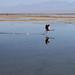 Flamingo sozinho decolando