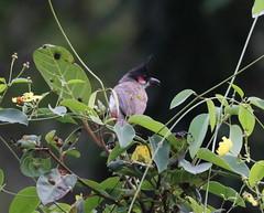 IMG_1356 (gsurya) Tags: bird nature goa bulbul