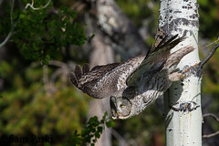 GG20 (Sam Parks Photography) Tags: trees wild summer usa bird nature animal forest rockies fly flying inflight spring wings woods nps wildlife unitedstatesofamerica ghost hunting feathers meadow aves raptor northamerica rockymountains hunter wyoming greatgrayowl soaring phantom predator carnivorous naturalworld jacksonhole avian soar hunt tetonrange parkservice strigiformes grandtetonnationalpark predatory aspentree strixnebulosa gye mountainous carnivora strigidae gtnp greateryellowstoneecosystem aspenstand horizontalorientation carniore