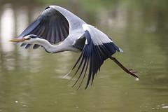 Airone - Oasi di Sant'Alessio - Pavia - Italia (carlo612001) Tags: park heron fly flying wildlife wildlifepark airone oasidisantalessio
