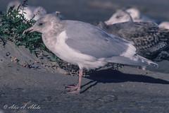 Glaucous-winged Gull - 3rd Year - December (aaabela) Tags: bird december gull aves larus glaucouswingedgull laridae charadriiformes 3rdyear chordata