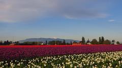 Tulips in Skagit Valley (gateway10027) Tags: flowers flower snowcapped tulip mountbaker skagitvalley skagitvalleytulipfestival tulipfestival northcascades flowerfarm floweringplant roozengaarde snowpeak fieldofflowers floweringstalk cascadesrange mountvernonwa tulipscom