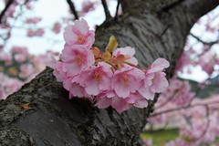 Smiles of the Earth... (ragams) Tags: pink flowers cherry blossom bunch sakura earthday earthsmiles
