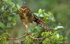 Lechuza de las madrigueras, Lechucita vizcachera, Burrowing Owl (Athene cunicularia).3 (alvarof.polo) Tags: bird nikon pantanal athenecunicularia burrowingowl strigidae lechucitavizcachera lechuzadelasmadrigueras