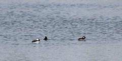 Hooded Merganser Ducks (jmaxtours) Tags: lake toronto centennial duck pond ducks etobicoke drake centennialpark torontoontario merganser etobicokeontario hoodedmerganserducks centennialparketobicoke