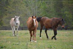 Arabian Endurance/Trail Horses (Sapphire Dream Photography) Tags: horses horse animal animals walking grey bay mare pasture arab chestnut blaze arabian herd arabians gelding arabiangeldings