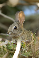 spring cotton tail (BorrowedLightPhoto) Tags: rabbit bunny shade cottontail eatinggrass acdseepro canondpp 7dii