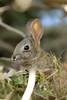 spring cotton tail (BorrowedLightPhoto) Tags: rabbit bunny shade cottontail eatinggrass acdseepro canondpp 7dii