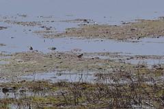 Ringed plover (JonasSuni) Tags: sea bird nature water animal fauna suomi finland spring outdoor wildlife wetland vr kevt