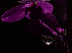 Purple rain . . . farewell. . . (Irina1010) Tags: flower macro nature rain canon purple ngc prince refraction droplet tribute