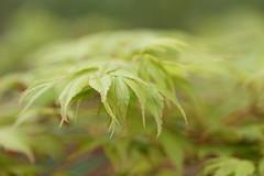 Japanese Maple (greggys stuff) Tags: japanesemaple singleton acerpalmatumsangokaku