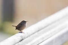 Wren (118/366) (AdaMoorePhotography) Tags: uk wild england brown bird nature fence spring nikon wildlife small gb marsh wren essex day118 marshes 200500 rainham rspb 366 200500mm rainhammarshes d7200