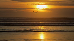 Day's End.... (shesnuckinfuts) Tags: ocean sunset nature outdoors golden seagull gull pacificocean oceanshoreswa shesnuckinfuts april2016