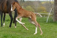 Springpferd (Heiko Schneemann) Tags: pferde foal fohlen lifeiscrazy