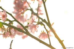 DSC_8592 (Frankie Tseng ()) Tags: park pink flowers sunset sky bw flower silhouette photography 50mm blackwhite nikon outdoor flash sunny tokina cherryblossoms fade nikkor 70300mm tamron 90mm f8 1224mm f28 f4 1870mm bwphotography blackwhitephotography portraitphotography outdoorportrait sb900 yongnuo outdoorportraitphotography yn568