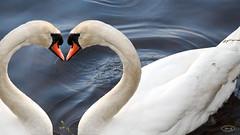 Hckerschwne sind verliebt (hrbiemcknips) Tags: swan montage herz hckerschwan groser rusweiher vogelfreisttte