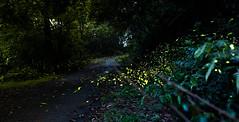 Firefly (Hen) Tags: light mountain tree night 35mm nikon afternoon taiwan d750 taipei  firefly