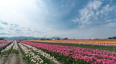 field (JonathanIchikawa) Tags: flowers tulips abbotsford tulipfestival