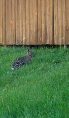 wilder3 (boltandfrolic) Tags: wild rabbit angels wilder boltandfrolic