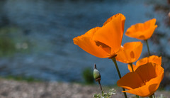 Poppies at the lake - Happy Macro Monday (randyherring) Tags: california park ca flowers orange lake macro water beautiful closeup bench us flora afternoon unitedstates outdoor depthoffield shore bloom losgatos californiapoppy blooming eschscholziacalifornica bloomingflower santaclaracountyparks vasonalakecountypark macromondays beginswiththeletterp