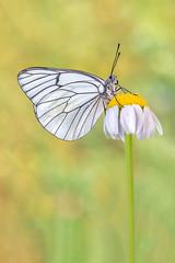 Blanca De Majuelo (pajavi69) Tags: naturaleza macro planta nature animal butterfly insect freshair nikon bokeh flor campo mariposa mariposas insecto profundidaddecampo 105mm macrofotografia aporiacrataegi lepidptero lepidopteros d7100 macrolife blancademajuelo microphotographing airelibreflower